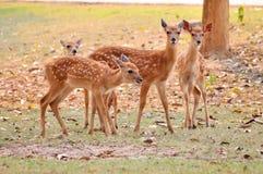 Free Baby Sika Deer Stock Image - 30220781