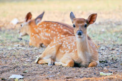 Baby sika deer Stock Images