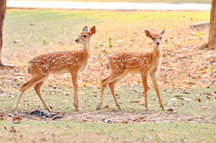 Baby sika deer. Is reddish-brown with white spots, and spends the first week of its life lying still in long grass, visited by its mother for feeding Royalty Free Stock Image