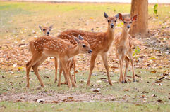 Baby sika deer Stock Image