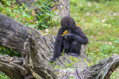 Baby Silver back Gorilla. A baby Silver back Gorilla sitting on a fallen tree log Stock Photo