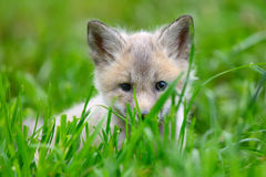 Baby silver fox Stock Photo