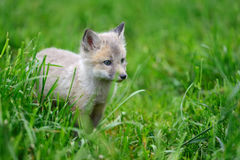 Baby silver fox Stock Photography