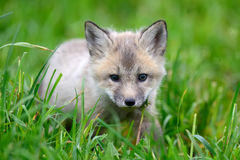 Baby silver fox. Close up baby silver fox in grass royalty free stock photo