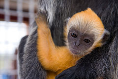 Baby silver leaf monkey. Close up shot of a baby silver leaf monkey with orange fur Royalty Free Stock Image