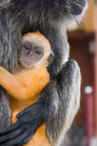 Baby silver leaf monkey. Close up shot of a baby silver leaf monkey with orange fur royalty free stock images