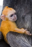Baby silver leaf monkey Stock Photos