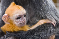 Baby silver leaf monkey. Close up shot of a baby silver leaf monkey with orange fur Royalty Free Stock Photos