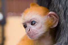 Baby silver leaf monkey. Close up shot of a baby silver leaf monkey with orange fur Stock Image