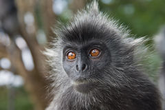 Baby silver leaf monkey Stock Photography