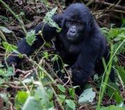 Baby Silverback-Gorilla Lizenzfreie Stockbilder