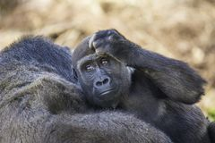 Baby Silverback Gorilla. A baby silverback gorilla rests on his mother`s shoulder as he scratches his head. Zoo babies stock images