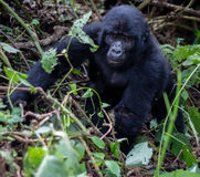 Baby Silverback Gorilla Royalty Free Stock Images