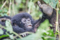 Baby Silverback Mountain gorilla in the Virunga National Park. Baby Mountain gorilla in the Virunga National Park, Democratic Republic Of Congo Stock Image