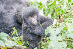 Baby Silverback Mountain gorilla in the Virunga National Park. Baby Mountain gorilla in the Virunga National Park, Democratic Republic Of Congo Royalty Free Stock Image
