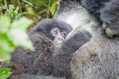 Baby Silverback Mountain gorilla in the Virunga National Park. Baby Mountain gorilla in the Virunga National Park, Democratic Republic Of Congo Stock Photos