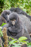 Baby Silverback Mountain gorilla in the Virunga National Park. Baby Mountain gorilla in the Virunga National Park, Democratic Republic Of Congo Stock Images