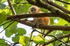 Baby Silvery lutung (Trachypithecus cristatus) in Bako National Park, Borneo. Baby Silvery lutung (Trachypithecus cristatus) playing in trees in Bako National stock photos