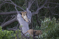 Baby Simba. Lion Cubs playing in a tree Stock Photo