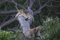 Baby Simba. Lion cubs playing in a tree Royalty Free Stock Photography