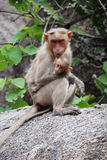 Baby sitter. A mother monkey sitting on a rock seeing the ground with its baby Stock Photo