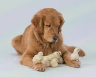 The Baby Sitter. Gentle Golden Retriever watching over baby chicksnn Stock Photo
