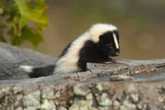 Baby Skunk 3 Stock Photography