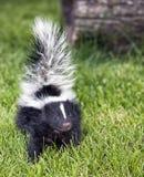 Baby skunk stock images
