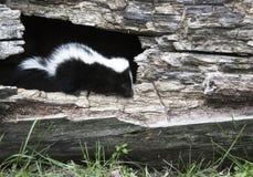 Baby skunk Royalty Free Stock Photos