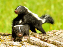 Baby skunks playing with each other Stock Photos