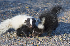Baby Skunks playing in the road Royalty Free Stock Photo