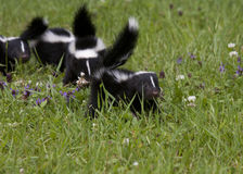 Baby Skunks in a Row in Wildflowers Royalty Free Stock Photo