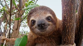 Baby sloth Stock Photos