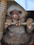 Baby Sloth. Baby two-toed sloth in Costa Rica Stock Images