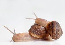 Baby slug on big slug's back. On white background stock images