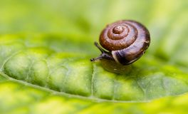 Baby Snail Stock Photography