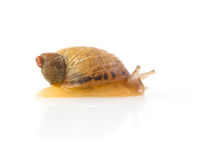 Baby snail Royalty Free Stock Photos