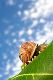 Baby snails going home Royalty Free Stock Images