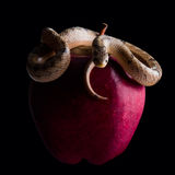 Baby snake on apple Stock Photography