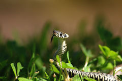 Baby snake Royalty Free Stock Photos