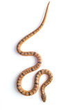 Baby snake isolated on white. Background royalty free stock photos