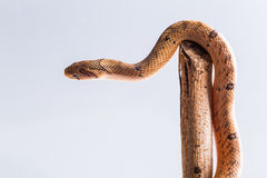Baby snake isolated on white Royalty Free Stock Images
