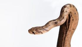 Baby snake isolated on white Stock Photos