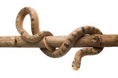 Baby snake isolated on white Royalty Free Stock Image