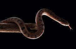 Baby snake isolated on white Stock Image