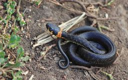 The baby snake Stock Photo