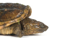Baby snapping turtle Royalty Free Stock Images