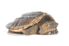 Baby snapping turtle Stock Photos