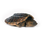 Baby snapping turtle on white background Royalty Free Stock Images