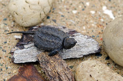 Baby snapping turtle Stock Image